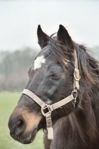 Little Joey een trots paard aan het einde van zijn leven